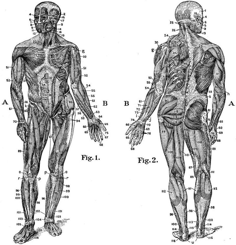 muscle chart & diagram of the human body, Muscles