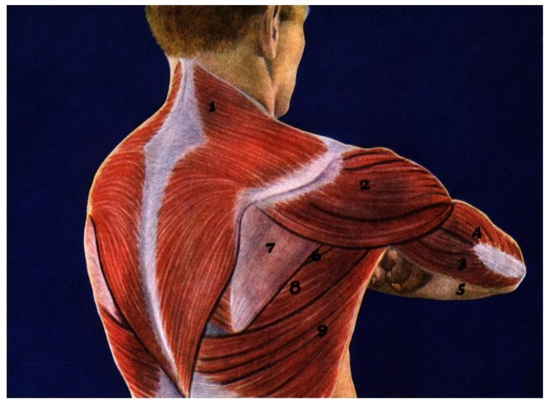 Diagram of muscles in the human body diagram of muscles in arms of human body ccuart Images