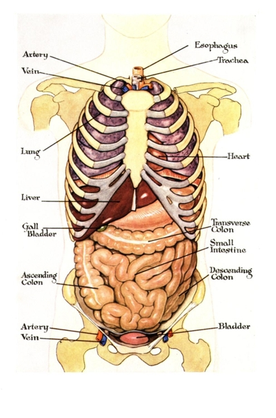 vital organs diagram, Sphenoid